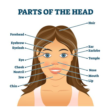 Parts of the head for english vocabulary words education vector illustration. Anatomical biology topic handout with labeled face model scheme. Infographic with description for knowledge development.