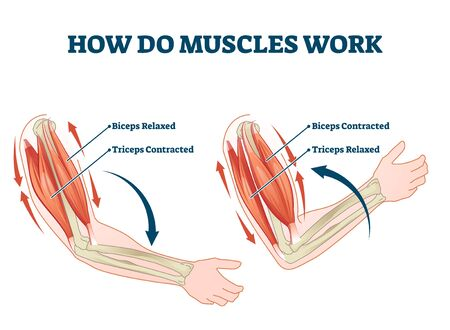 How do muscles work labeled principle explanation scheme vector illustration. Anatomical and physical movement process example with biceps relaxed and triceps contracted. Educational comparison graph.