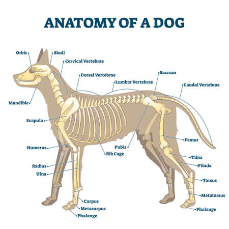 Anatomy of dog skeleton with labeled inner bone scheme vector illustration. Zoological structural examination with inside location description for study handouts. Educational skull, vertebrae location