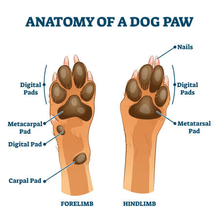 Anatomy of dog paw structure with forelimb and hindlimb comparison scheme vector illustration. Educational labeled pads parts description with digital, metacarpal, digital and carpal location examples  イラスト・ベクター素材