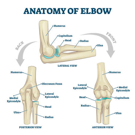 Anatomy of elbow with lateral, posterior or anterior view vector illustration. Educational labeled scheme with skeleton bone structure description. Healthy body parts example for physiology handout. Vektorgrafik