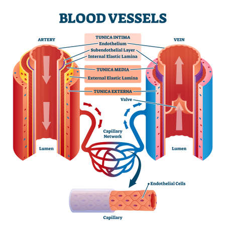 Blood vessels with artery and vein internal structure comparison vector illustration. Educational lumen direction description scheme. Labeled tunica intima, media and externa graphic for anatomy study Ilustração