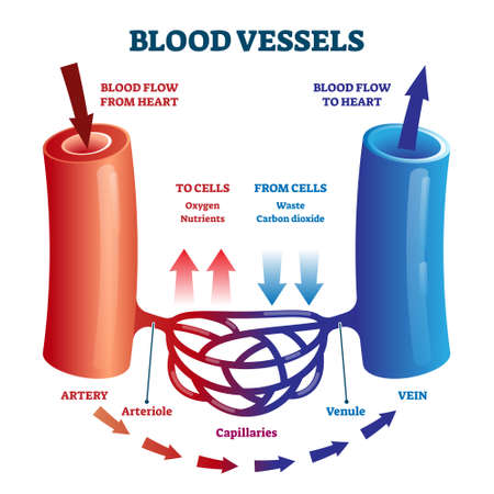 Blood vessels direction scheme with oxygen and nutrients flow from heart and waste flow to cells vector illustration. Educational diagram with artery, arteriole, capillaries, venule and vein for anatomy study.