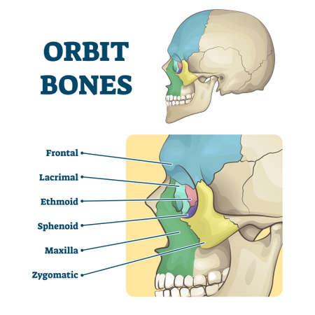 Orbit bones labeled educational anatomical division scheme vector illustration. Face skeleton zones description with frontal, lacrimal, ethmoid, sphenoid, maxilla and zygomatic contours in skull. Ilustração Vetorial