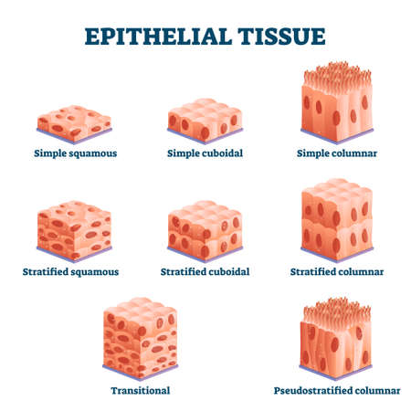 Epithelial tissue with labeled squamous, cuboidal and columnar examples vector illustration. Educational simple, straitified and trasitional comparison scheme in anatomical classification collection.