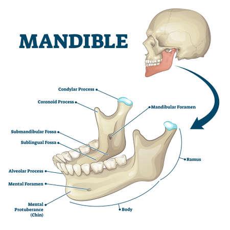 Mandible jaw bone labeled anatomical structure scheme vector illustration. Educational bone titles description and human mouth explanation. Ramus, chin, foramen, alveolar and sublingual fossa location Illustration