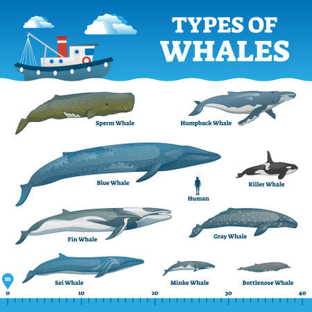 Types of whales educational labeled comparison collection vector illustration. Ocean wildlife mammals collection with human and ruler for size perspective. Zoology and biology handout for fauna study