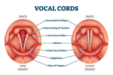 Vocal cords labeled anatomical and medical structure and location scheme. Organ back or front view with closed and open positions comparison diagram vector illustration. Human voice sound inner parts