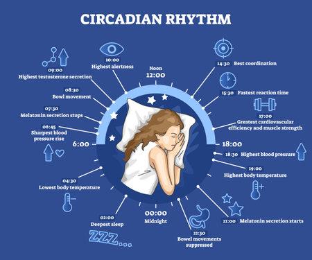 Circadian rhythm as educational natural cycle for healthy sleep and routine Vektorgrafik