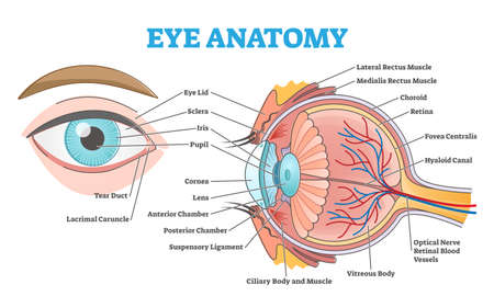 Eye anatomy with labeled structure scheme for human optic outline diagram Vektorgrafik