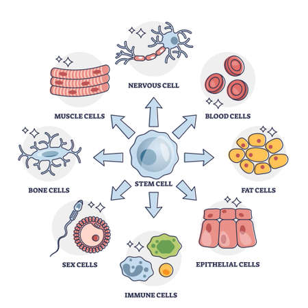 Cellular differentiation process with stem cell type change outline diagram
