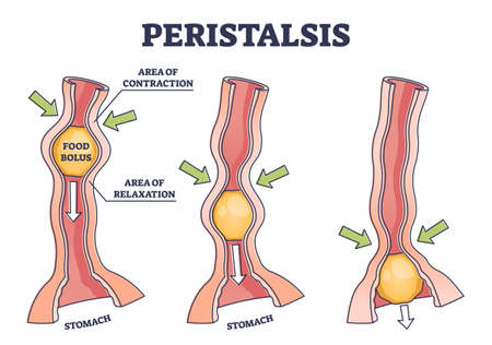 Peristalsis as anatomical food swallow process explanation outline diagram