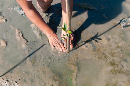 ボランティアの世話とプーケット、タイで世界を救う準備サイトで若い緑マングローブの植物の 2 つの手