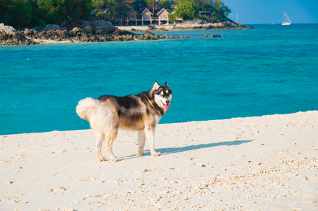 Siberian husky dog enjoy on the beach in the morning with beautiful seascape background in Lipe island, Satun, Thailand
