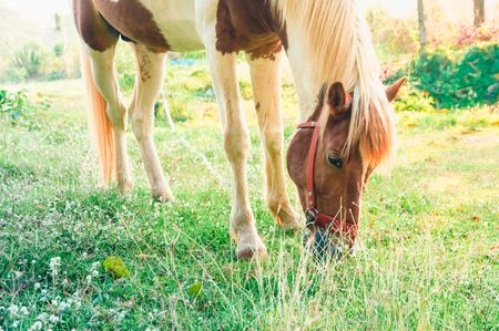 Horse eating grass in a garden in the morning, photo is filtered Zdjęcie Seryjne