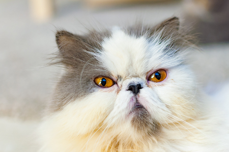 grumpy: Selective soft focus of close up grumpy cat head shot Stock Photo