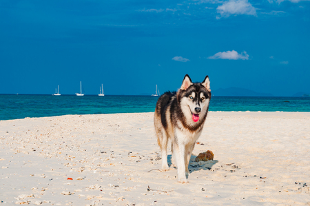 Playful Siberian Husky dog on the beach with blue sky