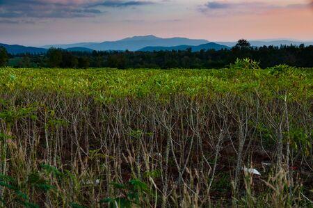 キャッサバでプランテーション農業と日没の後の夕方の農業