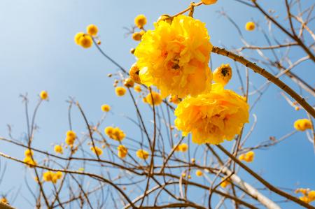 トランペットの木と青い空を背景に咲く Tabebuia 写真素材
