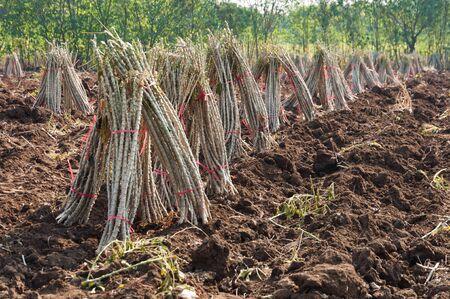 キャッサバ プランテーション農業と農業