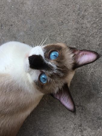 間近で視線を床に横たわってリラックスしたシャム猫の写真
