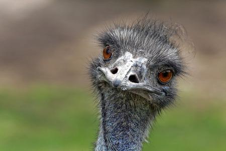 Emu Standard-Bild