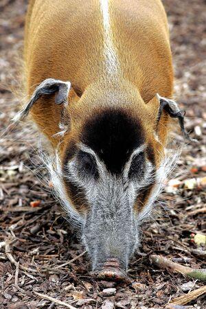 bush hog: Pinselohrschwein