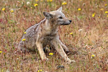 patagonian: Patagonian fox Stock Photo