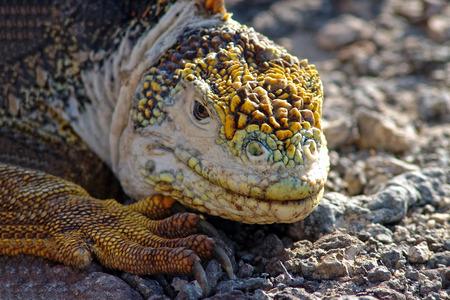 close p: Yellow Iguana