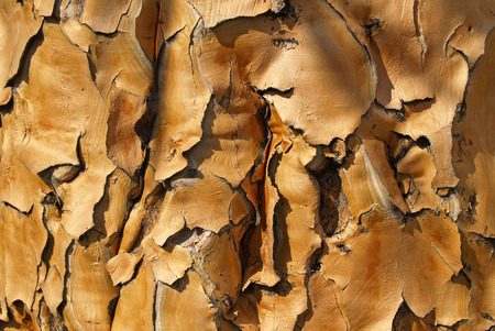 close p: Bark of a Koecherbaumes