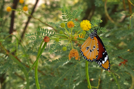 danaus: Monarch - Danaus plexippus