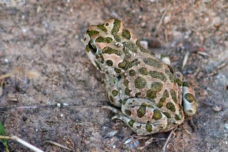 viridis: Green toad, Bufo viridis