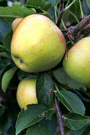 pome: Green Apples close up