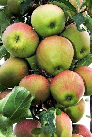 arbol de manzanas: Las manzanas verdes de cerca Foto de archivo