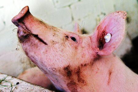 torment: Pig farming