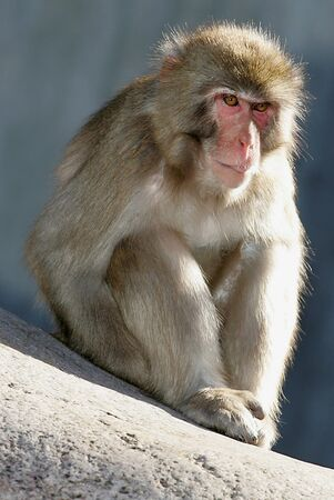 macaque: Japanese Macaque