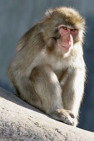 macaque: Japanese Macaque