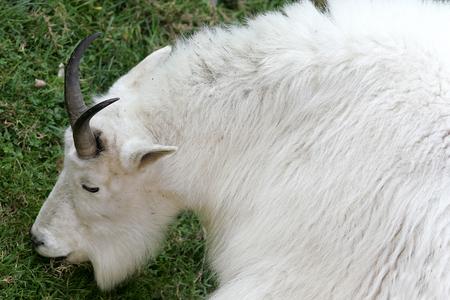 berggeit: Mountain Goat