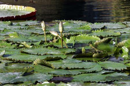 seerosen: Water lily Stock Photo