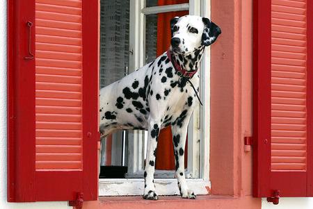 Dalmatian Standard-Bild