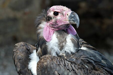 redheaded: Red-headed Vulture