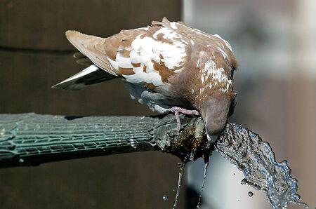 thirsty bird: Drinking pigeon