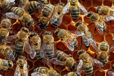 insecta: Bees