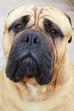 mastiff: Mastiff Stock Photo