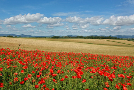 Poppy Field in der Pfalz