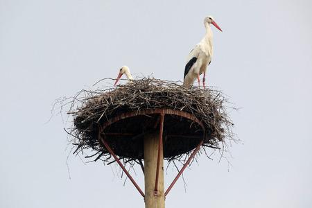 ciconiiformes: Storks Nest