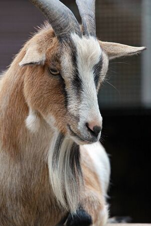 billygoat: Goat