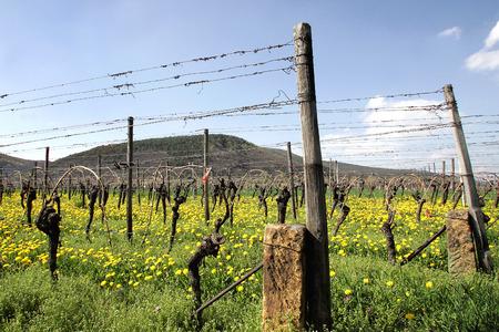 viniculture: Vineyard in spring Stock Photo