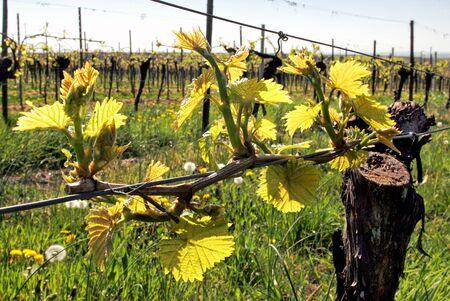 viniculture: Grapevine