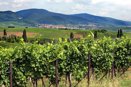 winegrowing: The Sdpfalz Stock Photo